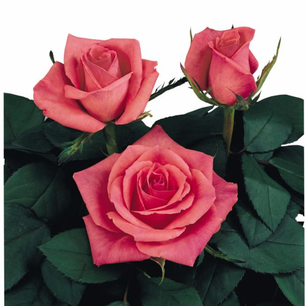 crossbreeding sweetheart roses Image