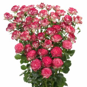 premium spray rose breeders Imara
