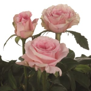 Interplant breeder various rose varieties
