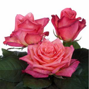 hybrid tea rose breeders Jaipur