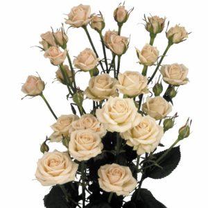spray rose breeders Holland Jana