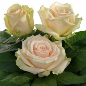 Interplant breeder Intermediate Hybrid Tea Roses