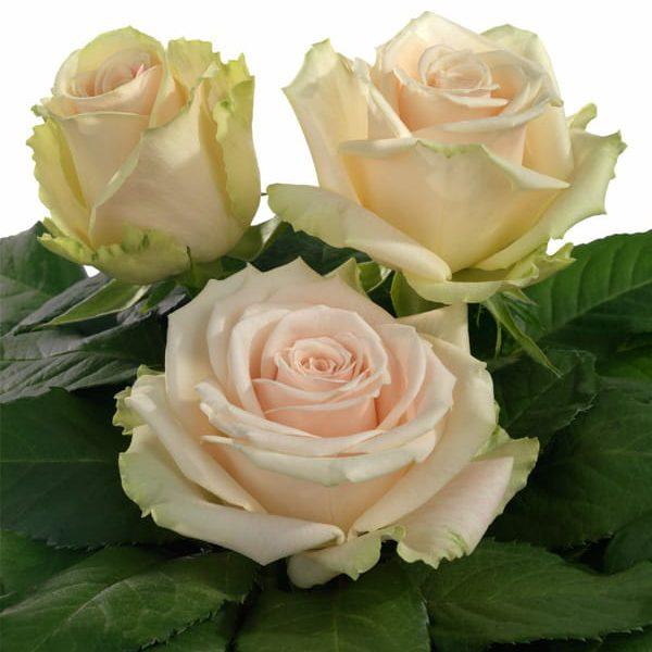 Interplant breeder Intermediate Hybrid Tea Roses
