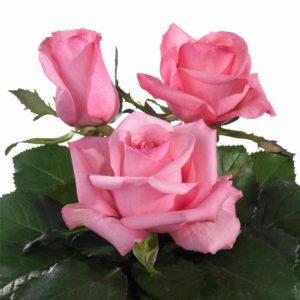 breeding tea roses Jubilee