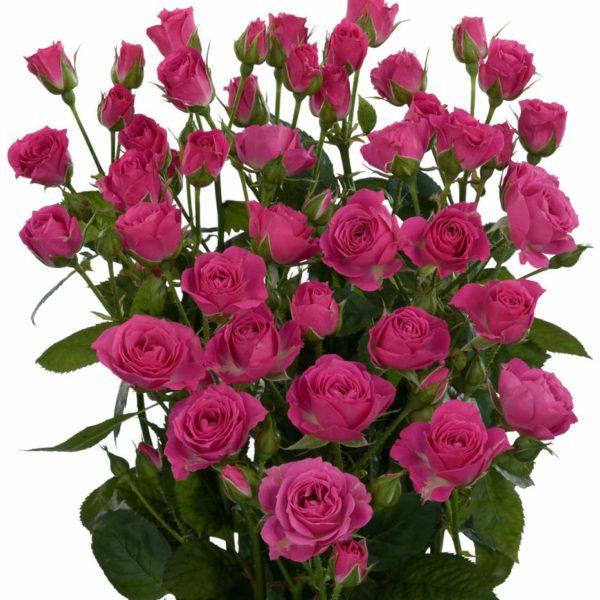 spray roses long vase life Lydia