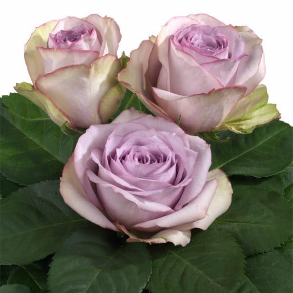 Intermediate Hybrid Tea rose characteristics Lullaby