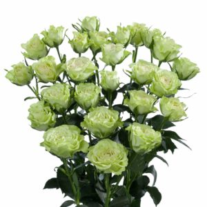 premium spray roses white Luviana
