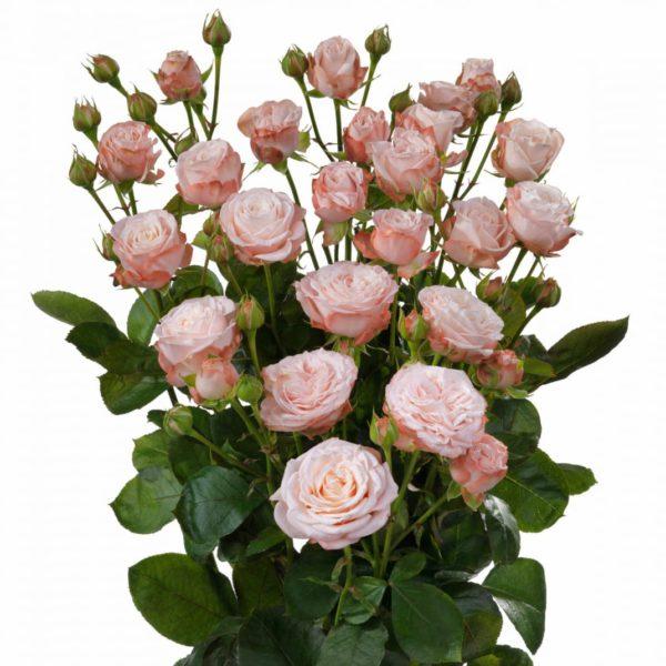 Interplant Roses spray rose breeder