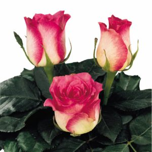 rose pollination hybrid tea rose Malibu
