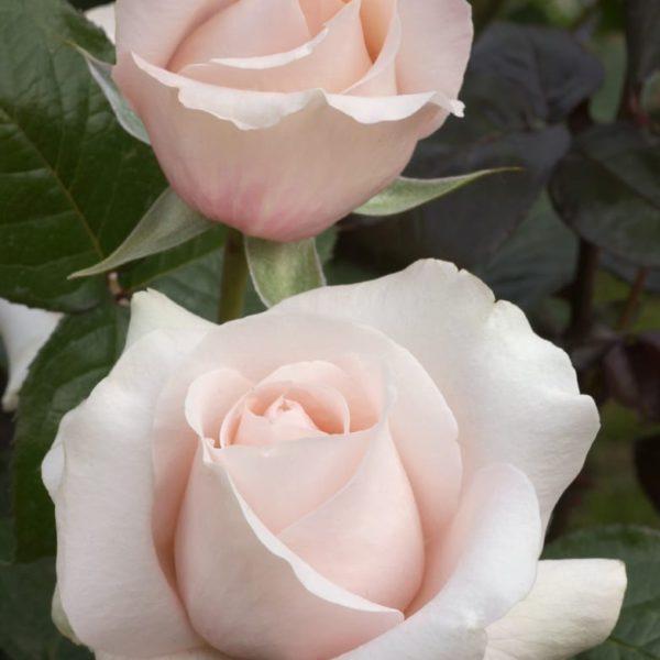 Interplant breeder garden roses