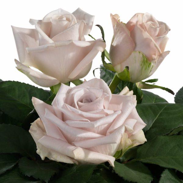 rose seeds hybrid tea rose Menta