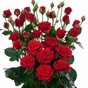 spray rose varieties Mirabel
