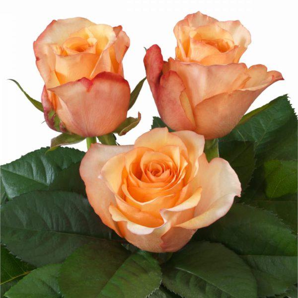 Inteplant Roses Hybrid Tea breeder