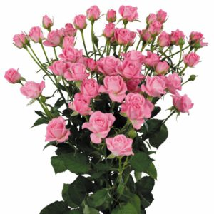 long stemmed spray roses Nathalie