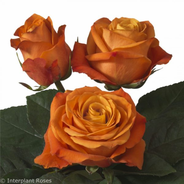 Interplant Roses breeder Intermediate Hybrid Tea