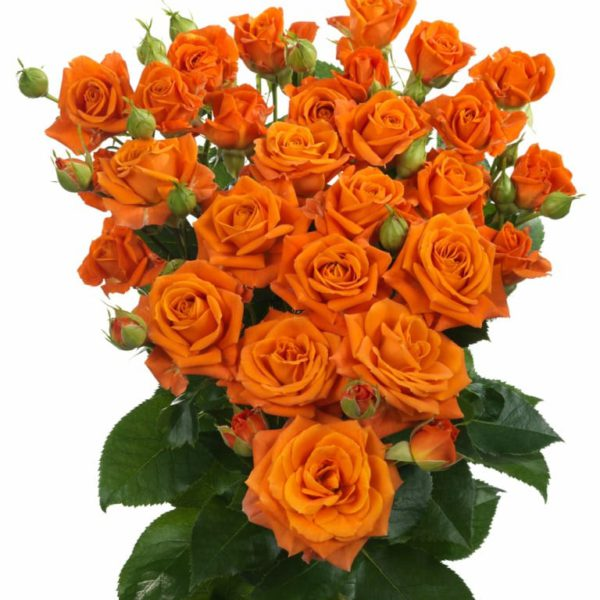 Premium spray rose variety Interplant Orange Fire