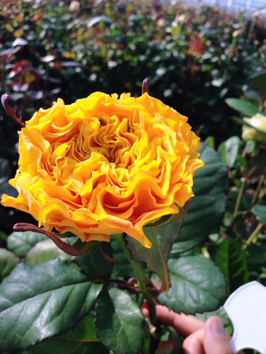 Orange Garden Rose: Orange Reeva®