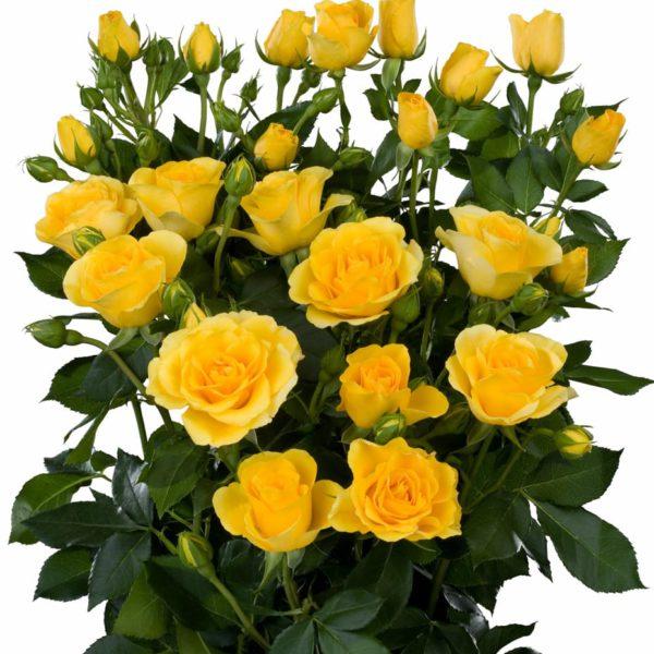 yellow spray roses Palme