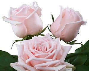 fragrant roses breeding Parfume