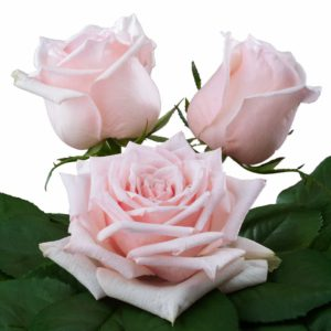 fragrant roses breeding Parfume