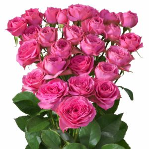 Interplant breeder of spray roses