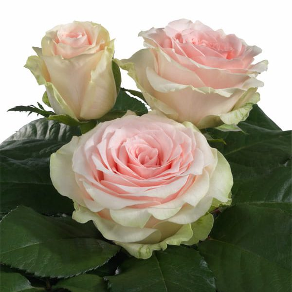 Intermediate Hybrid Tea rose characteristics Pink Touch