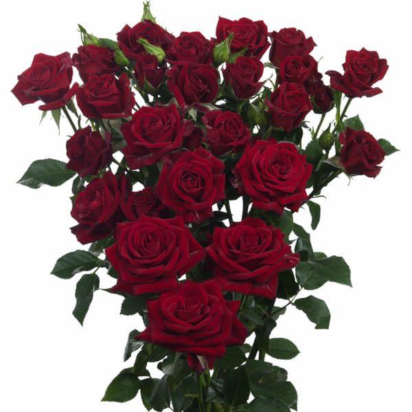Regular Spray Rose