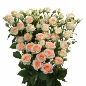 cross polination spray roses Rosanella