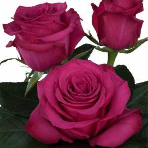 tea roses propagation Roseberry