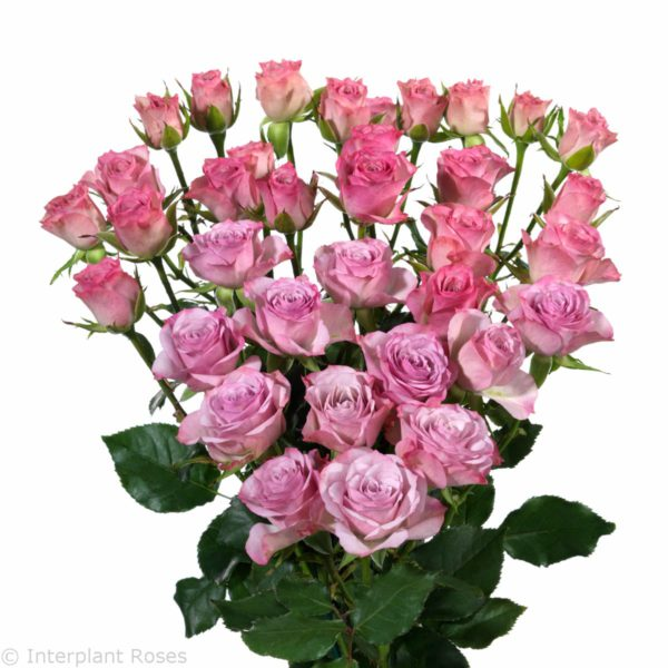 spray rose varieties Rowena