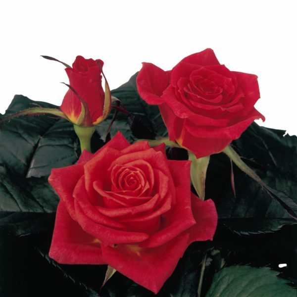 breeding sweetheart roses Royal