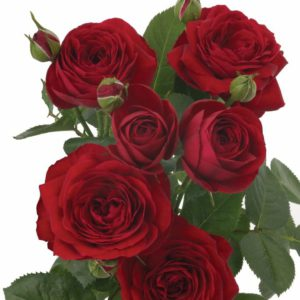 Interplant Grandiflora breeders Spray Roses