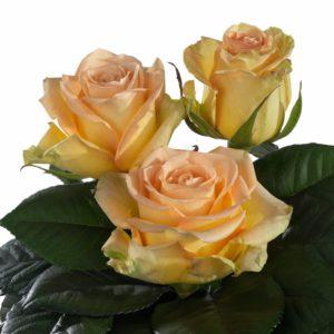 hybrid tea roses varieties Saffrano