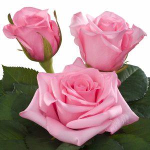 hybrid tea rose characteristics intermediate Sanoli