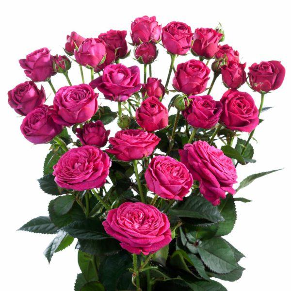 fragrant rose breeders Scented