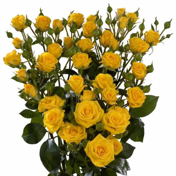 yellow spray roses Shine