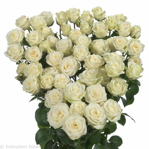 premium spray rose breeders Shivani