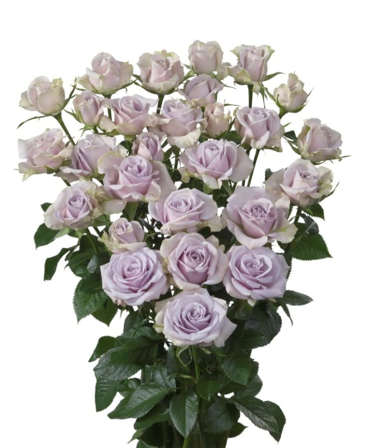 многочисленных кустовые розы сорта сиреневого цвета фото получиться примерно
