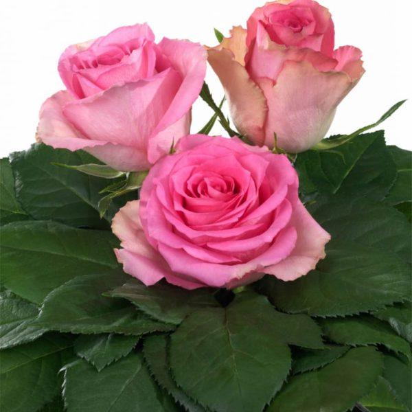 Interplant Breeder Hybrid Tea Rose