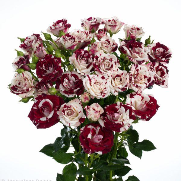 spray rose cultivation Sparkling