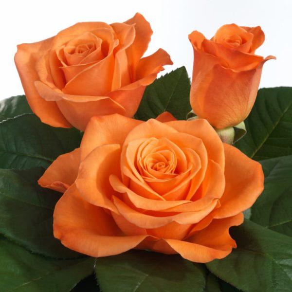 Intermediate Hybrid Tea rose characteristics Sunglaze