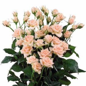 long stemmed spray roses Sweet