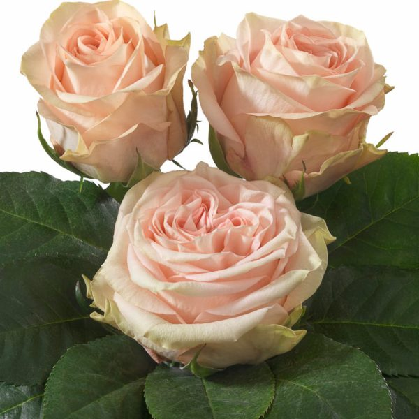 Interplant Breeder Intermediate Hybrid Tea Rose