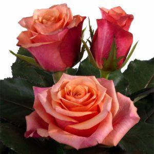 rose polination intermediate hybrid tea roses Totilas