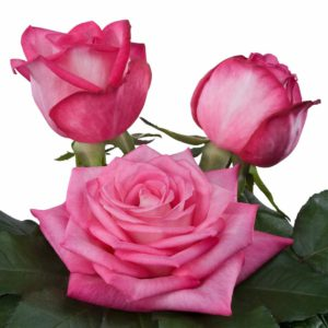 fragrant rose breeding Trendy