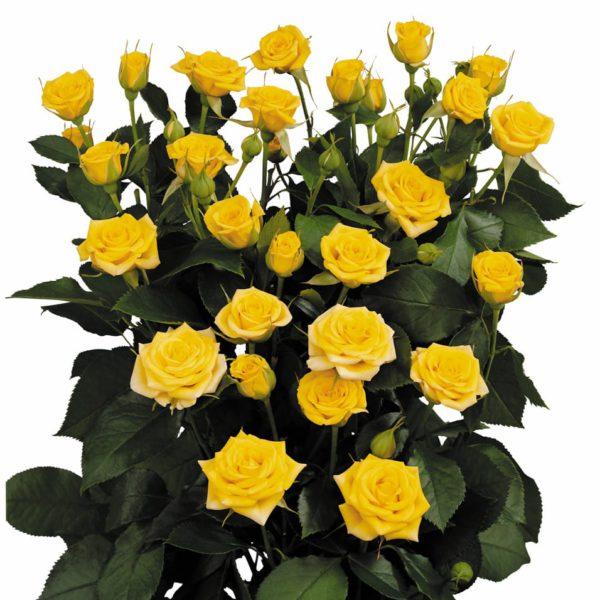 spray rose hybridization Yellow