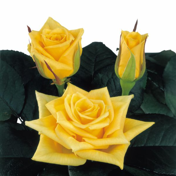 hybridization sweetheart roses Yellow