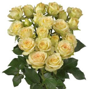Interplant breeder of spray rose varieties