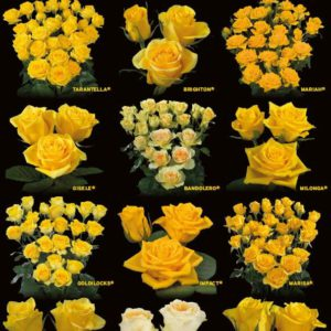 The yellow coloured rose varieties of Interplant Roses