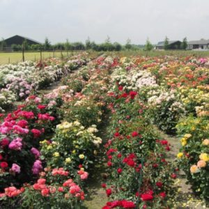 Interplant breeder of various garden rose varieties